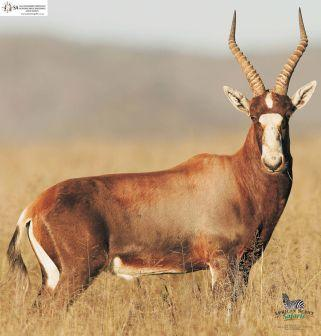 Blesbok (common)