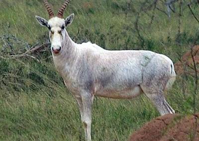 Blesbuck (white)