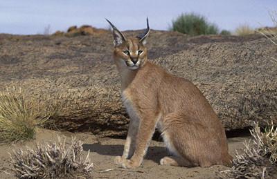 Caracal (African Lynx)