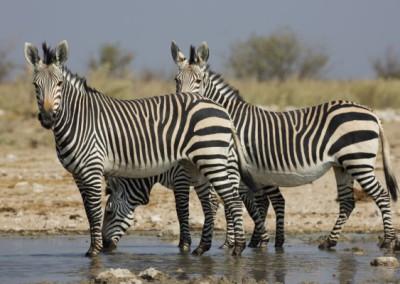 Zebra(hartmanns)