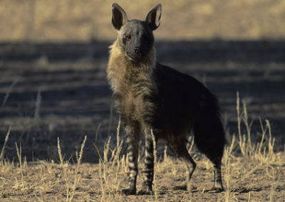 Hyena (Brown)